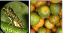 Double Stranded RNA for Asian Citrus Psyllid Control